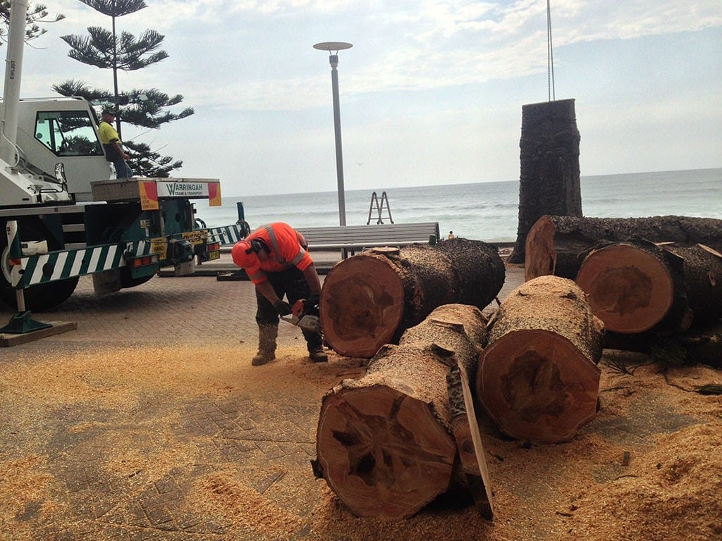 Chopping down one iconic Manly Norfolk island Pines, which line the seafront to make a studio table.